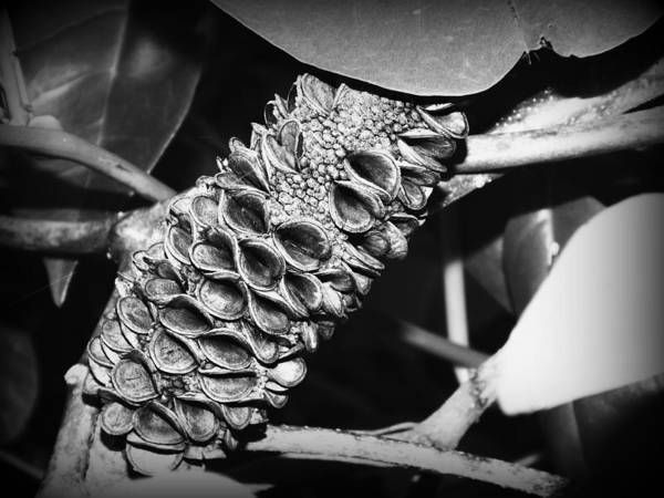 Evie Photograph - Banksia Man by Evie Hanlon
