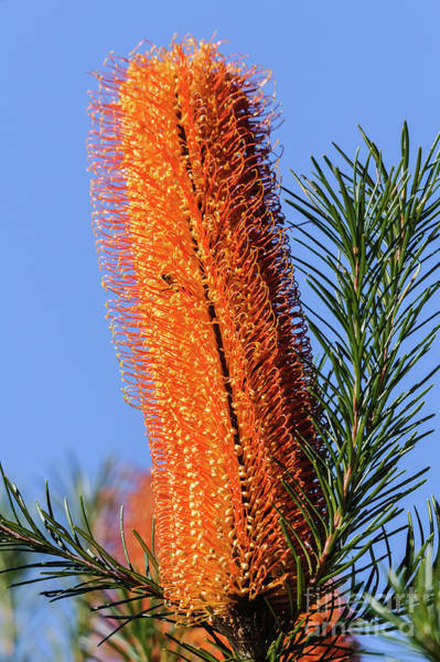 Photograph - Banksia Nsw09 by Werner Padarin