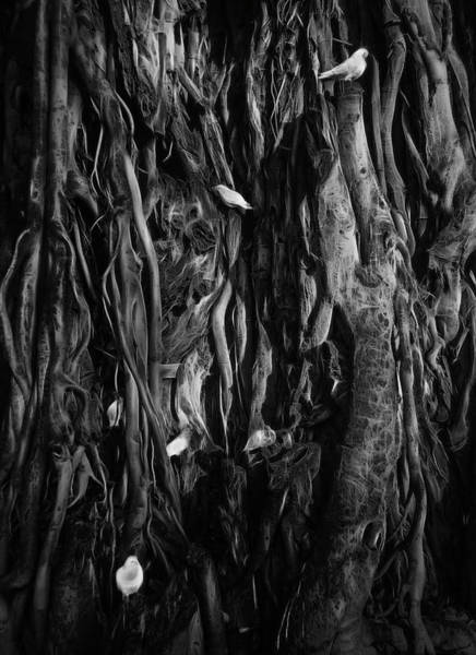 Photograph - Banyan Birds by Wes Jimerson
