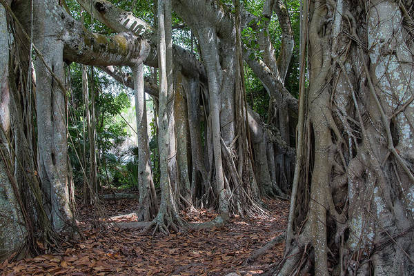 Photograph - Banyan Grove by Richard Goldman