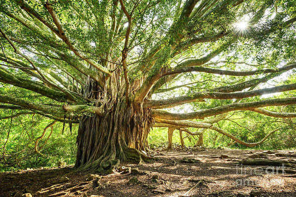 Indian Banyan Photograph - Banyan Star by Jamie Pham