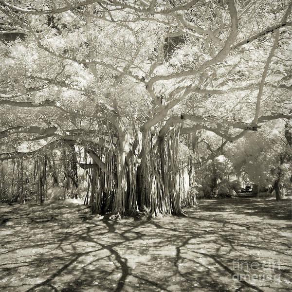 Photograph - Banyan Strangler Fig Tree by Martin Konopacki
