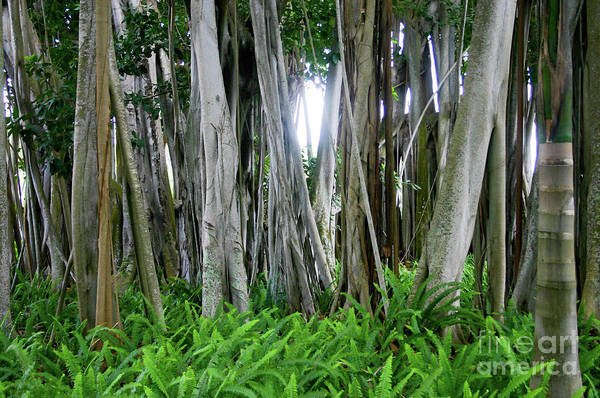 Indian Banyan Photograph - Banyan Tree by Raleigh Art Gallery