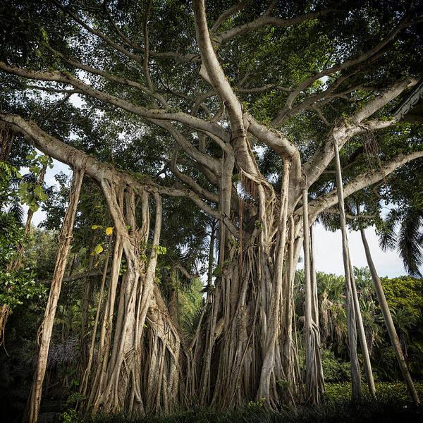 Photograph - Banyan Tree At Bonnet House by Belinda Greb