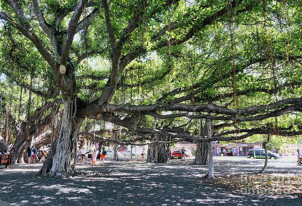 Photograph - Banyan Tree by Eddie Yerkish
