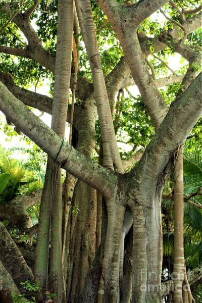 Photograph - Banyan Tree by Patti Whitten