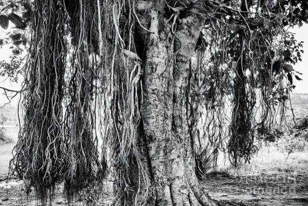 Indian Banyan Photograph - Banyan Tree by Tim Gainey