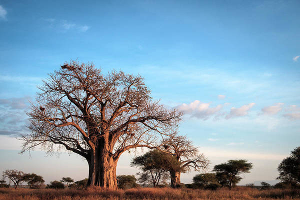 Photograph - Baobab Evening by Mary Lee Dereske