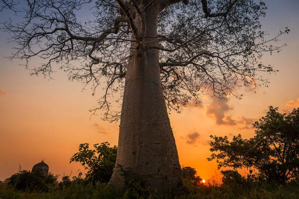 Photograph - Baobab by Marji Lang