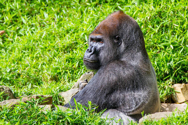 Photograph - Baraka - Western Lowalnd Silverback Gorilla by SR Green