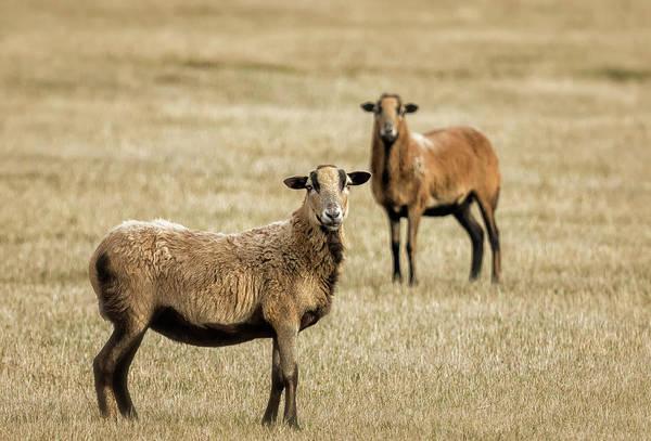 Photograph - Barbados Blackbelly Sheep by Belinda Greb