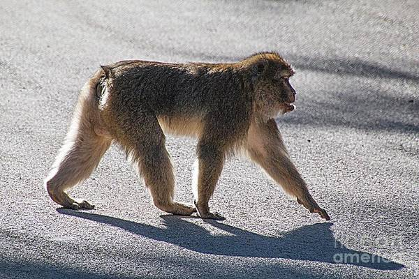 Barbary Macaque, Morocco Art Print by Jim Wright
