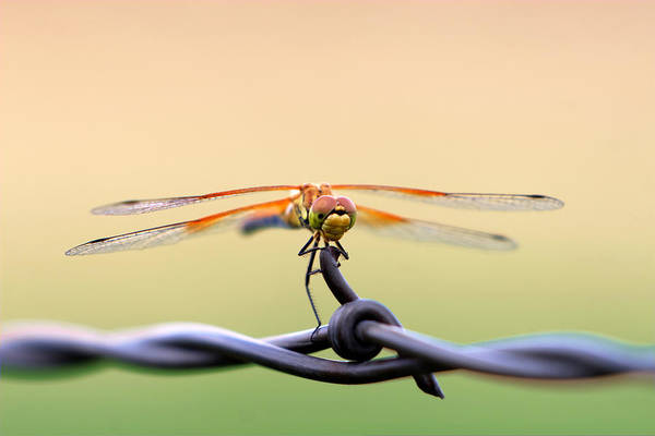 Photograph - Barbed Dragon by David Andersen