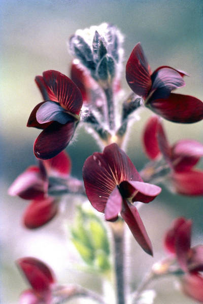 Barb Photograph - Barbed Thermopsis Or Black Pea by American School
