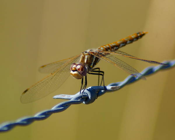 Photograph - Barbed Wire Dragonfly by Ben Upham III