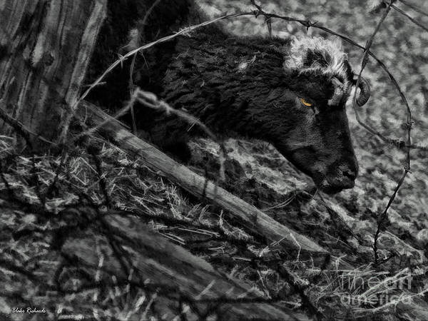 Photograph - Barbed Wired Goat by Blake Richards