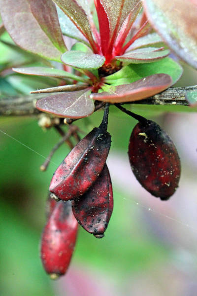 Photograph - Barberry Seed by Jennifer Robin
