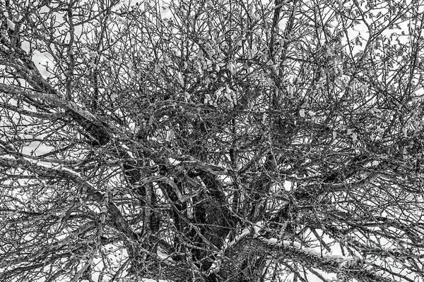 Wall Art - Photograph - Bare Apple Tree In Winter by Edward Fielding