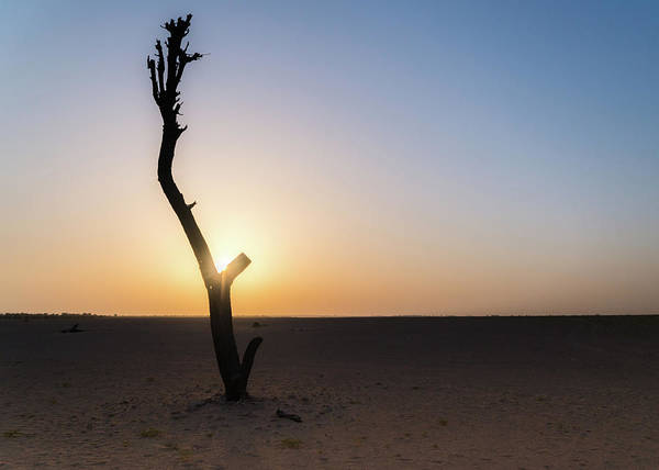 Photograph - Bare Tree In Desert At Sunset by Alexandre Rotenberg