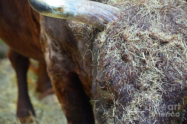Photograph - Barging Bull by Spade Photo