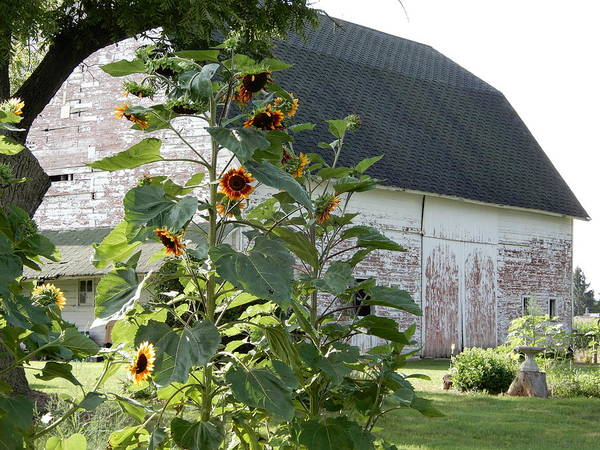 Photograph - Barn And Sunflower Garden 2018 by Tina M Wenger