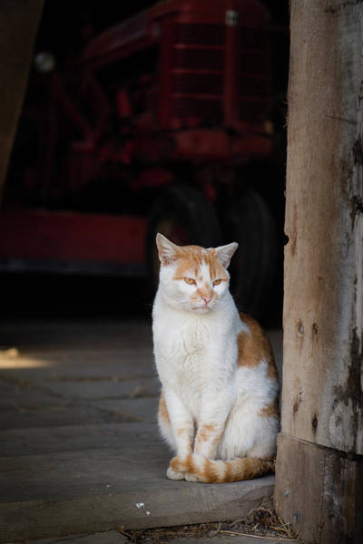Photograph - Barn Cat And Tractor by Dennis Dame