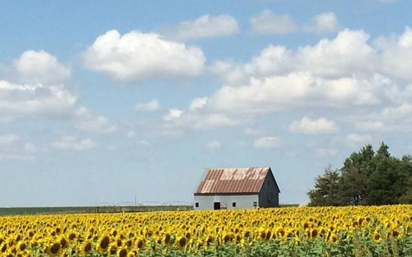 Wall Art - Photograph - Barn  In The Midst Of Sunflowers by Weathered Wood