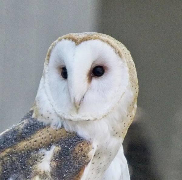 Wall Art - Photograph - Barn Owl 2 by Charles HALL