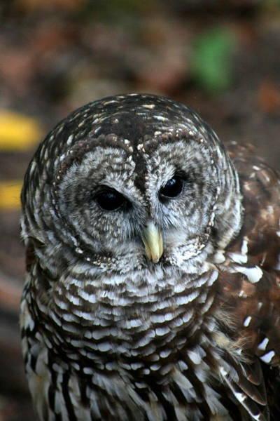 Photograph - Barn Owl 2 by David Dunham