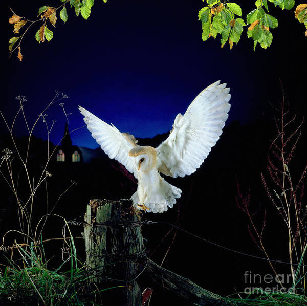 Photograph - Barn Owl Alighting On Fencepost by Warren Photographic