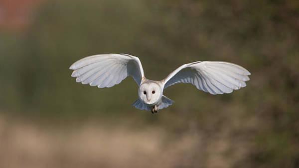 Photograph - Barn Owl Approaching by Peter Walkden