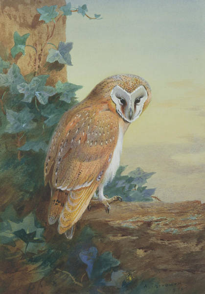 Barn Owl Painting - Barn Owl by Archibald Thorburn