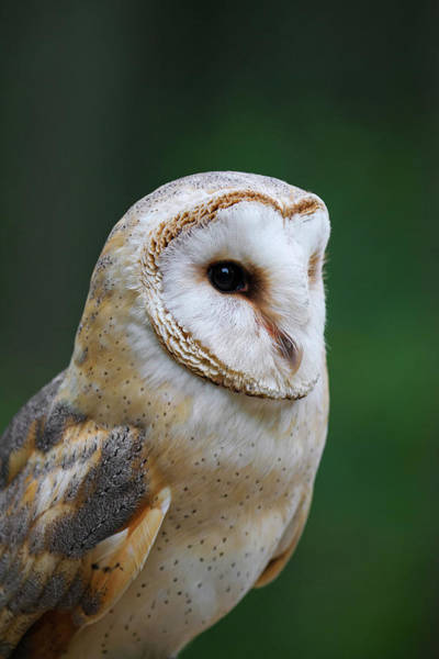 Photograph - Barn Owl by Arterra Picture Library