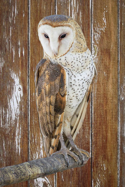 Photograph - Barn Owl Artistic Portrait by Dawn Currie