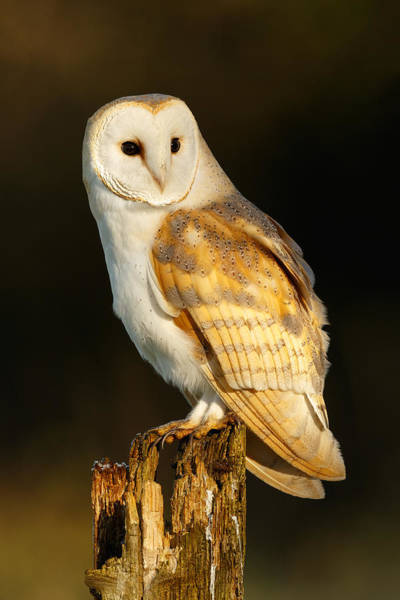 Photograph - Barn Owl At Dawn by Simon Litten