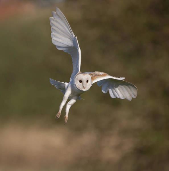 Photograph - Barn Owl Cornering by Peter Walkden