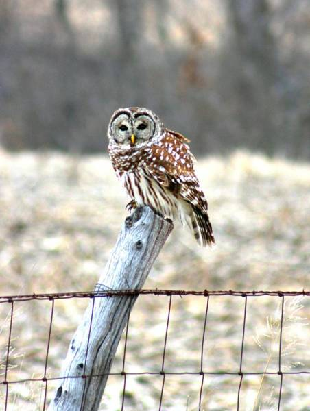 Photograph - Barn Owl by David Dunham