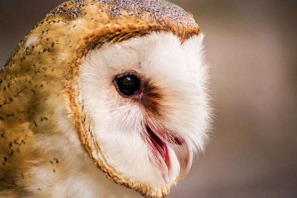 Photograph - Barn Owl by Don Johnson