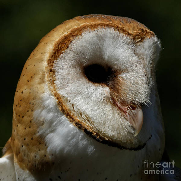 Photograph - Barn Owl - Face Of A Beauty by Sue Harper
