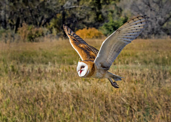 Screech Owl Photograph - Barn Owl Flight 6 by Dawn Key