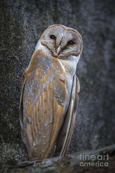 Photograph - Barn Owl by Hitendra SINKAR