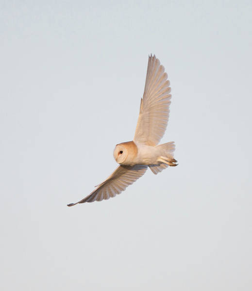 Photograph - Barn Owl Hunting by Peter Walkden