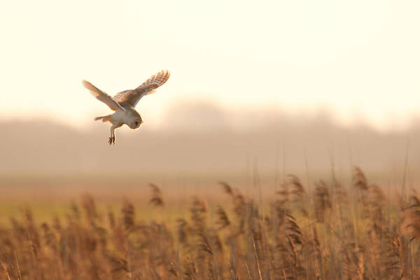 Photograph - Barn Owl Hunting by Simon Litten