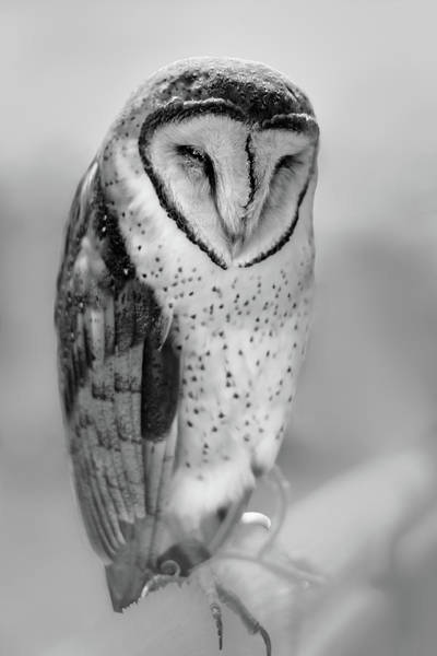 Barn Owl II Art Print