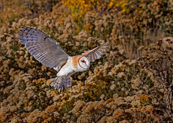 Wall Art - Photograph - Barn Owl In Flight by Dawn Key