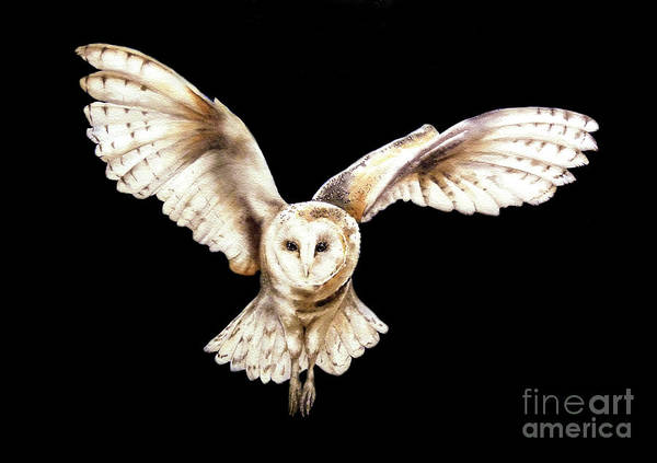 Barn Owl Painting - Barn Owl In Flight by Marie Burke