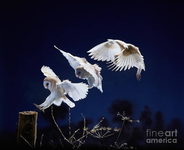 Photograph - Barn Owl Landing Multiple Exposure by Warren Photographic