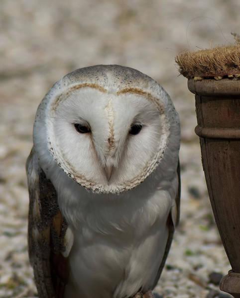 Nikon D5000 Photograph - Barn Owl by Matt Steffen