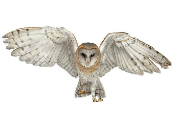 Digital Art - Barn Owl by Nigel Follett