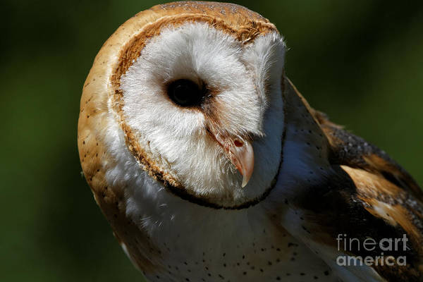 Photograph - Barn Owl - Observing  by Sue Harper